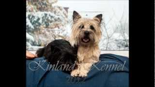 Cairn Terrier - Pregnancy 35. Day