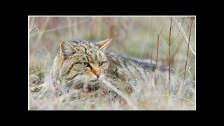 В Приморье две спасенные редкие лесные кошки были освобождены после реабилитации