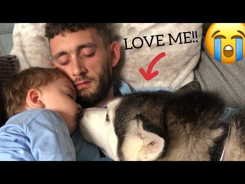 Jealous Husky Demands To Be Loved Like A Baby!! [TRY NOT TO SMILE]