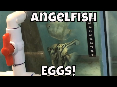 Blue Zebra Angelfish Eggs Fish Freaks Plus Food Aquarium Fish Room VLOG Breeding Angelfish
