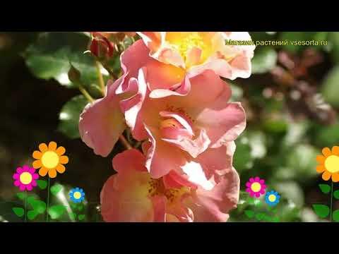 Роза флорибунда Джаз. Краткий обзор, описание характеристик, где купить саженцы Jazzz