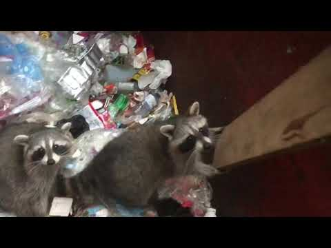 Chunky raccoons counting lucky stripes after dumpster rescue