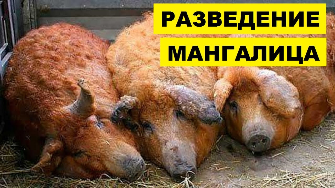 Разведение мангалица как бизнес идея | Венгерская порода свиней мангалица | Сальная порода