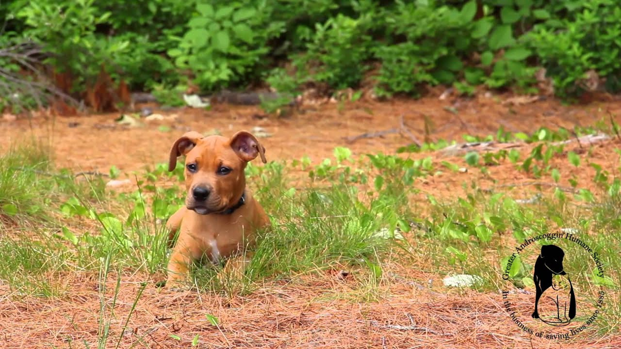 """Pitbull Boxer mix puppy """"Pitboxer"""" 11 weeks old! - YouTube"""