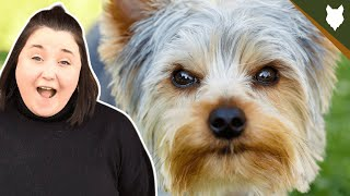 YORKSHIRE TERRIER! 5 Incredible Facts About The YORKSHIRE TERRIER