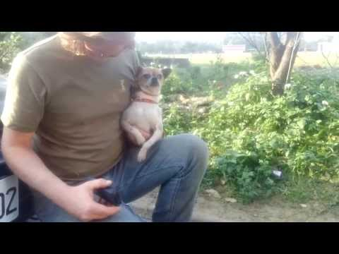 Rescuing a Injured Chihuahua