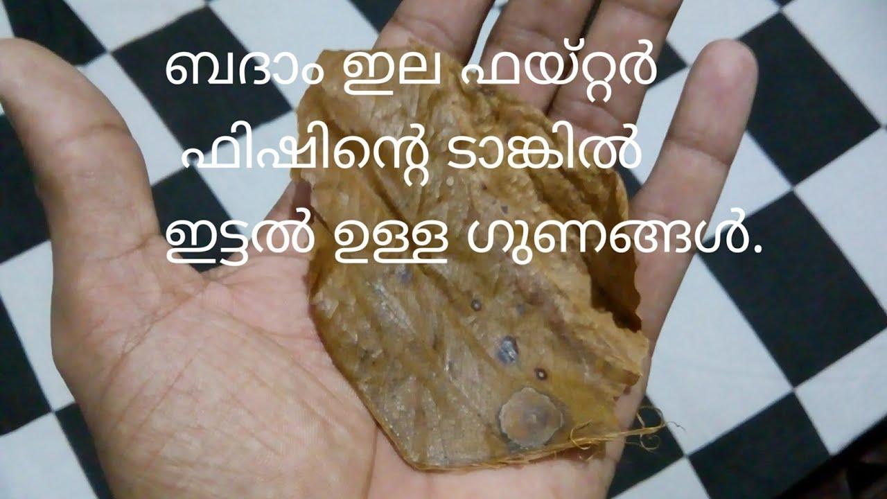 Almond leaf in Betta fish tank.  Betta fish long life medicine