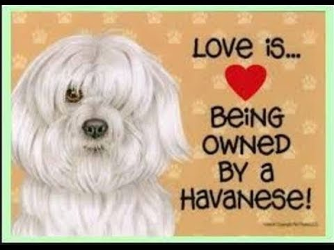 Havanese dogs belong to a breed that makes for excellent companion dogs