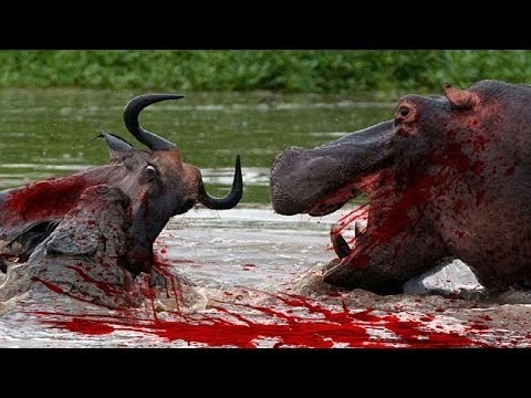 12 CRAZIEST Animal Fights Caught On Camera - Most Amazing Wild Animal Attacks