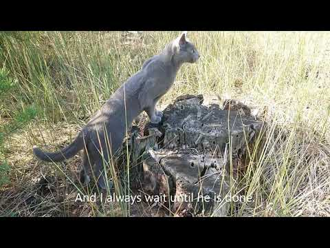 Walking with a Russian blue cat - no leash