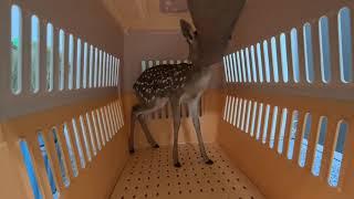 Bambi existe...