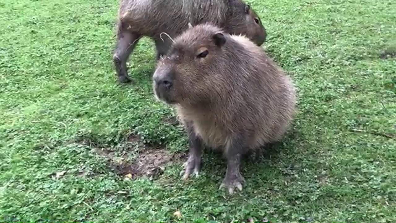 🎥 LIVE VIRTUAL ZOO DAY: Capybaras