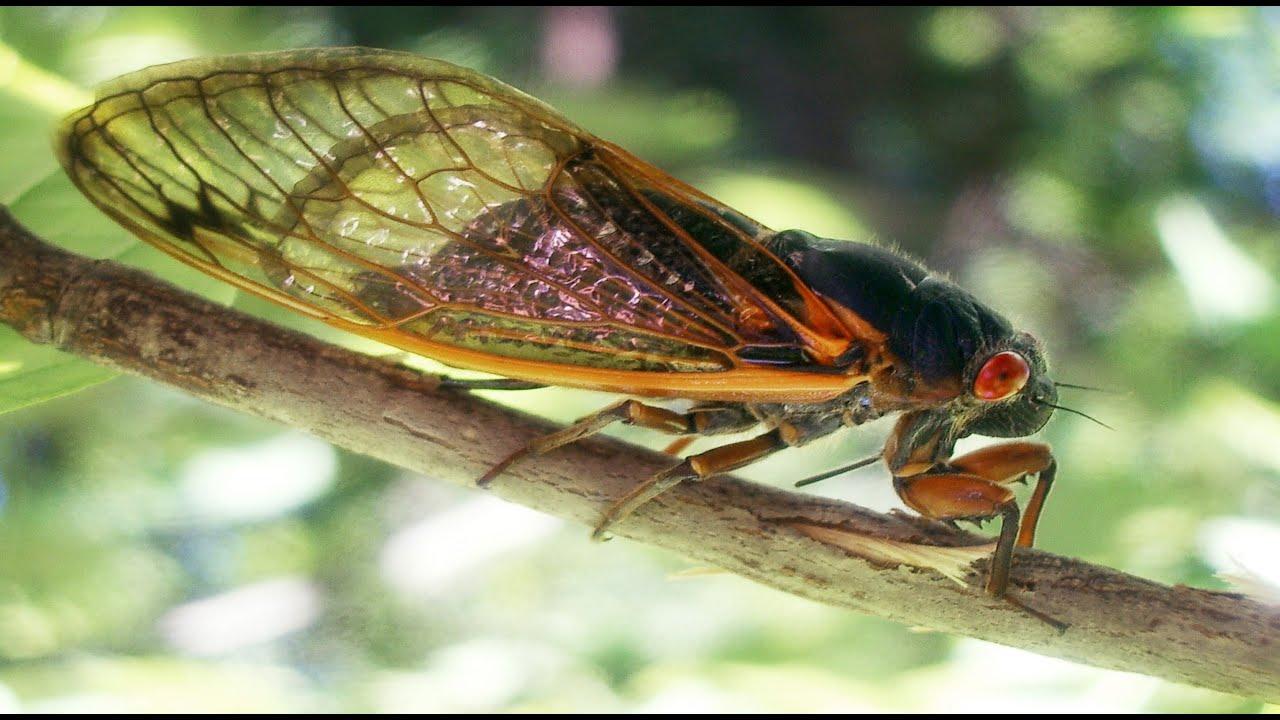 حشرات الزيز تستعد للانتشار على الأرض بعد غياب 17 عاما تحت الارض ...