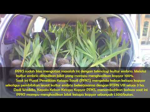 WA 0812-8566-4959 (Tsel) Jual Bibit Kelapa Kopyor Genjah Kultur Jaringan di Banguntapan