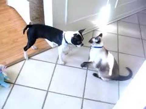 boston terrier and cats boston terrier puppy vs siamese cat youtube 3267