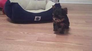 TEACUP YORKIE PUPPIE available for purchase-AKC-