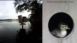 Woodiecam1 7/4/13 Neusiok Wood Duck Jump