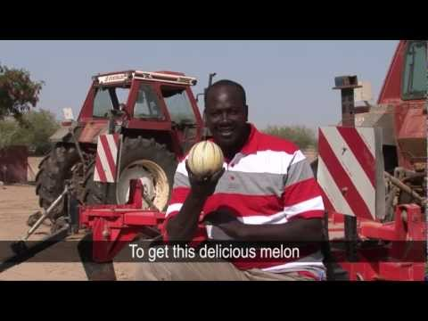 Growing Perfect Melons in Senegal