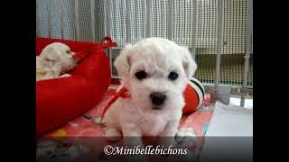 Bichon frise puppies (G litter)