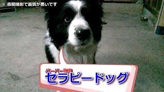 我が家の癒し系愛犬ハリーくんの最近の新しい任務はバーバー専属のセラ...