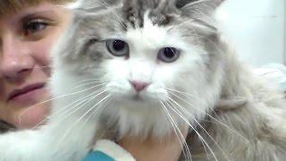 Сибирская Кошка, Няшный Огромный Сибиряк, Породы Кошек