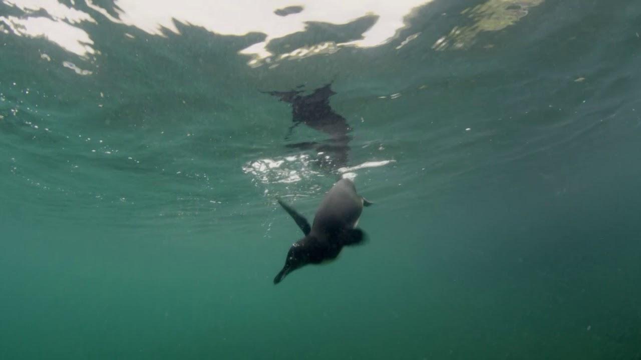 Galapagos | Extrait : Le manchot des Galapagos, le plus petit du monde
