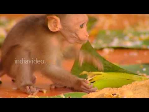 Monkeys partaking Onam feast at Sasthamkotta Temple, Kerala