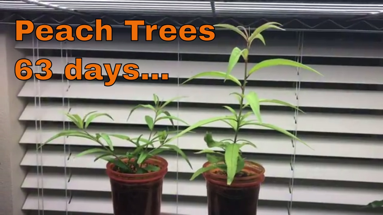 how to grow peaches from seed indoors
