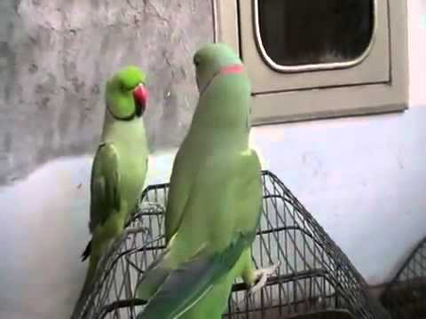Talking Parrot pakistani parrot