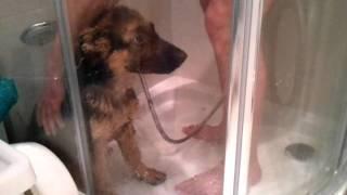owczarek niemiecki prysznic