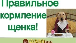Выращивание щенка  правильное кормление  Основа здоровья щенка кормление