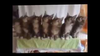 Котята танцуют! Это очень смешно ! такого вы еще не видели