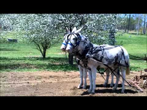 Team of Mules Hillary and O'bama at work