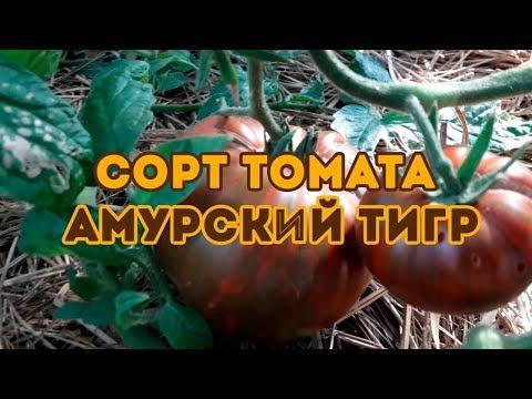 Сорт томата Амурский Тигр ! Полный видео-обзор | томатов_2020 | урожайные | амурский | томатов | продажа | семена | отзывы | лучшие | томат | сорта