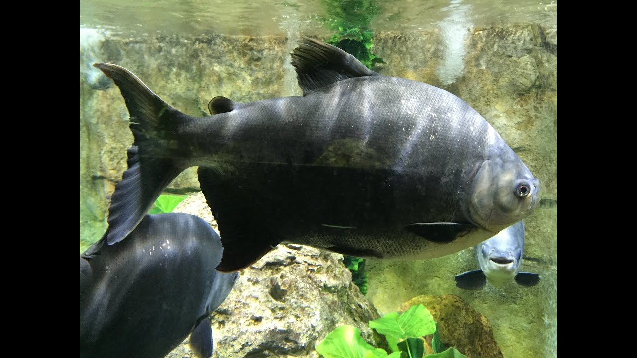 super giant pacu fish tank in 1080p youtube
