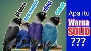 Ciri lovebird warna SOLID - COBALT , MANGSI , VIOLET