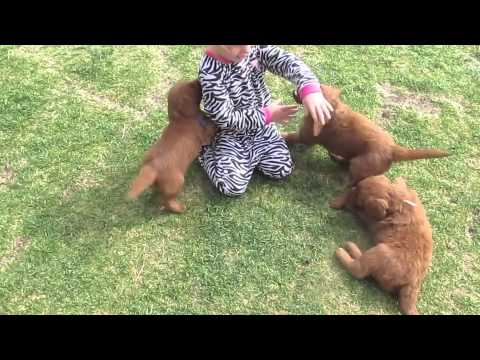 4 Goldendoodle puppies are compared