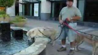 Wolfdog walking in the Mall