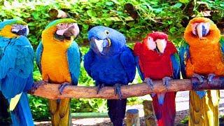 Загадочная Австралия. Страна  Больших попугаев.  Документальный фильм