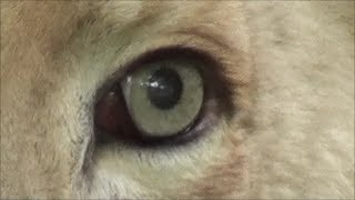 POWER OF THE ALL SEEING EYE - Lions EYE up close 1080p HD