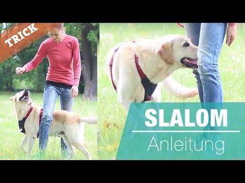 Hund SLALOM beibringen   Hundetrick Cross   durch die Beine laufen