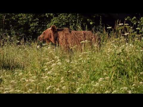 Medvíďata - Videolovy - Life in nature