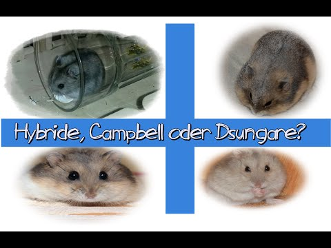 Hybride, Campbell oder Dsungare? WAS IST WAS?