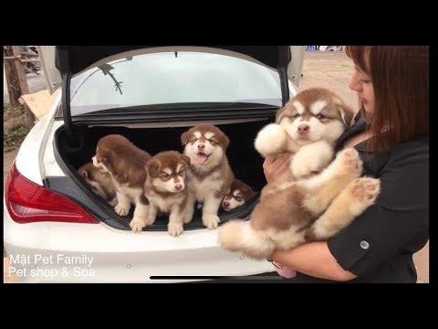 7 đứa cháu nội hậu duệ của Mật - béo hơn lợn ==)) Alaska puppy so cute