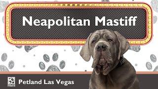 Raise the Ruff with Neapolitan Mastiff Fun Facts