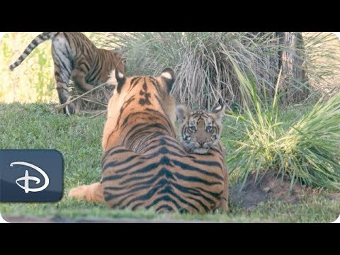 Sumatran Tiger Cubs Arrive at Maharajah Jungle Trek | Disney's Animal Kingdom