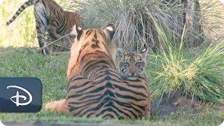 Sumatran Tiger Cubs Arrive at Maharajah Jungle Trek | Disney's Animal Kingdom