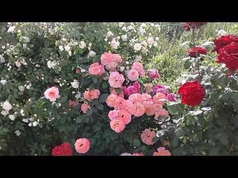 Питомник Роз Полины Козловой, правильный полив роз