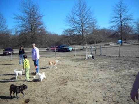 Ibizan Hound Geb at the dog park