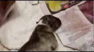 Miniture Bull Terrier (mka)